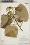 Croton billbergianus Müll. Arg., Panama, S. Knapp 4667, F