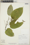 Croton billbergianus Müll. Arg., Panama, R. Schmalzel 718, F
