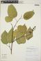 Croton billbergianus Müll. Arg., Panama, J. S. Miller 1030, F