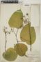 Croton billbergianus Müll. Arg., Panama, W. N. Bangham 401, F
