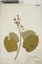 Croton billbergianus Müll. Arg., Panama, D. E. Starry 146, F