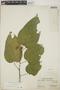 Croton billbergianus Müll. Arg., Panama, S. Aviles 100, F