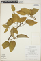 Croton billbergianus Müll. Arg., Mexico, J. I. Calzada 468, F
