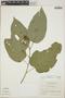 Croton billbergianus Müll. Arg., British Honduras [Belize], P. H. Gentle 8851, F