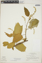 Croton billbergianus Müll. Arg., British Honduras [Belize], P. H. Gentle 6749, F