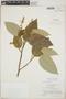 Croton billbergianus Müll. Arg., British Honduras [Belize], P. H. Gentle 7367, F