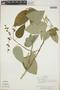 Croton billbergianus Müll. Arg., Belize, B. Vanderveen 662, F