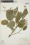 Croton billbergianus Müll. Arg., British Honduras [Belize], K. Cosentino 135, F
