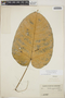 Croton billbergianus Müll. Arg., British Honduras [Belize], J. B. Kinloch 119, F