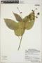 Croton billbergianus Müll. Arg., Belize, R. Arvigo 626, F