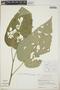 Croton billbergianus Müll. Arg., Belize, C. Whitefoord 2035, F
