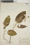 Croton billbergianus Müll. Arg., British Honduras [Belize], M. O. Hope 14, F