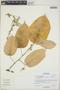 Croton billbergianus Müll. Arg., Belize, S. W. Brewer 275, F