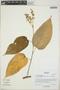 Croton billbergianus Müll. Arg., Belize, S. W. Brewer 292, F