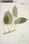 Croton billbergianus Müll. Arg., Guatemala, C. L. Lundell 19885, F