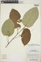 Croton billbergianus Müll. Arg., Guatemala, P. Tenório L. 14433, F