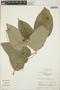 Croton billbergianus Müll. Arg., Guatemala, E. Contreras 5927, F