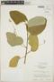 Croton billbergianus Müll. Arg., Guatemala, E. Contreras 9883, F