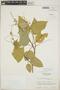 Croton billbergianus Müll. Arg., Guatemala, E. Contreras 9881, F