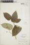 Croton billbergianus Müll. Arg., Guatemala, E. Contreras 7028, F