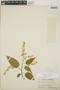 Croton billbergianus Müll. Arg., Honduras, W. D. Hottle 103, F