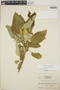 Croton billbergianus Müll. Arg., Honduras, A. Molina R. 7222, F