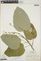 Croton billbergianus Müll. Arg., Honduras, A. Molina R. 30618, F