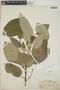 Croton billbergianus Müll. Arg., Honduras, P. C. Standley 52629, F