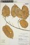 Croton billbergianus Müll. Arg., Nicaragua, P. P. Moreno 26255, F