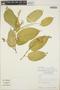 Croton billbergianus Müll. Arg., Nicaragua, W. D. Stevens 17455, F