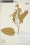 Croton billbergianus Müll. Arg., Nicaragua, J. S. Miller 1114, F