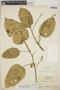 Croton billbergianus Müll. Arg., Nicaragua, P. J. Shank 4753, F