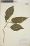 Croton billbergianus Müll. Arg., Mexico, E. Matuda 4400, F