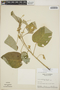 Croton billbergianus Müll. Arg., Guatemala, E. Contreras, F