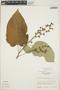 Croton billbergianus Müll. Arg., Guatemala, E. Contreras 10121, F