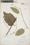 Croton billbergianus Müll. Arg., Guatemala, E. Contreras 6306, F