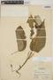 Croton billbergianus Müll. Arg., Honduras, L. O. Williams 14550, F