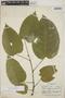 Croton billbergianus Müll. Arg., Honduras, C. von Hagen 1070, F