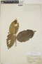 Croton billbergianus Müll. Arg., Honduras, W. N. Bangham 206, F