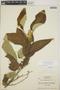 Croton billbergianus Müll. Arg., Honduras, A. Molina R. 5518, F