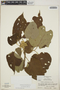 Croton billbergianus Müll. Arg., Honduras, A. Molina R. 14163, F