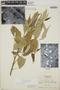 Croton billbergianus Müll. Arg., Honduras, A. Molina R. 5550, F