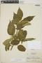 Croton billbergianus Müll. Arg., Honduras, A. Molina R. 6910, F