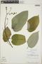 Croton billbergianus Müll. Arg., Belize, J. D. Dwyer 15176, F