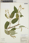 Croton billbergianus Müll. Arg., Belize, C. Whitefoord 9540, F