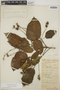 Croton billbergianus Müll. Arg., Belize, W. A. Schipp 337, F