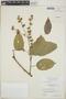 Croton billbergianus Müll. Arg., Belize, P. H. Gentle 4761, F