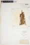Spiranthes cernua (L.) Rich., U.S.A., J. T. Rothrock, F