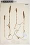Spiranthes cernua (L.) Rich., U.S.A., J. K. Small, F
