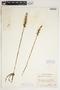 Spiranthes cernua (L.) Rich., U.S.A., J. A. Steyermark, F